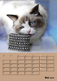 Ragdolls zum Verlieben (Wandkalender 2019 DIN A2 hoch) - Produktdetailbild 5