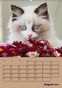 Ragdolls zum Verlieben (Wandkalender 2019 DIN A2 hoch) - Produktdetailbild 8