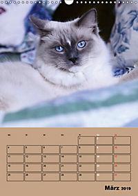 Ragdolls zum Verlieben (Wandkalender 2019 DIN A3 hoch) - Produktdetailbild 3