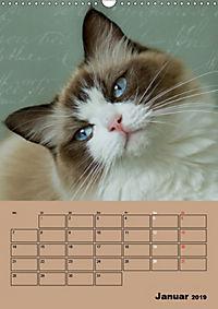 Ragdolls zum Verlieben (Wandkalender 2019 DIN A3 hoch) - Produktdetailbild 1