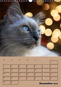 Ragdolls zum Verlieben (Wandkalender 2019 DIN A3 hoch) - Produktdetailbild 12