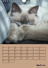 Ragdolls zum Verlieben (Wandkalender 2019 DIN A4 hoch) - Produktdetailbild 4