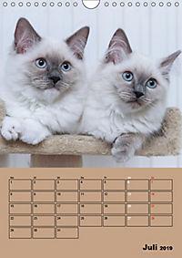 Ragdolls zum Verlieben (Wandkalender 2019 DIN A4 hoch) - Produktdetailbild 7