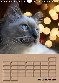 Ragdolls zum Verlieben (Wandkalender 2019 DIN A4 hoch) - Produktdetailbild 12