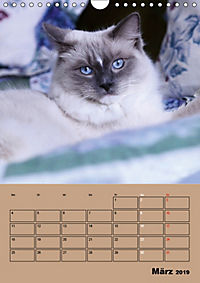 Ragdolls zum Verlieben (Wandkalender 2019 DIN A4 hoch) - Produktdetailbild 3