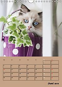 Ragdolls zum Verlieben (Wandkalender 2019 DIN A4 hoch) - Produktdetailbild 6