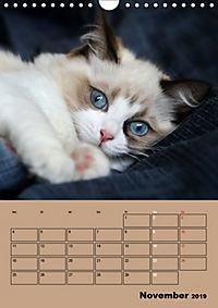 Ragdolls zum Verlieben (Wandkalender 2019 DIN A4 hoch) - Produktdetailbild 11