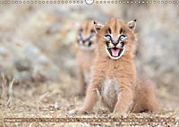 Raubkatzenkinder (Wandkalender 2019 DIN A3 quer) - Produktdetailbild 2