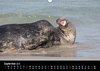 Raubtier der Nordsee - Kegelrobben vor Helgoland (Wandkalender 2019 DIN A3 quer) - Produktdetailbild 9
