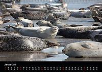 Raubtier der Nordsee - Kegelrobben vor Helgoland (Wandkalender 2019 DIN A2 quer) - Produktdetailbild 1