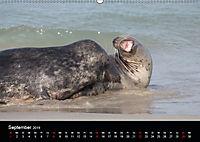 Raubtier der Nordsee - Kegelrobben vor Helgoland (Wandkalender 2019 DIN A2 quer) - Produktdetailbild 9