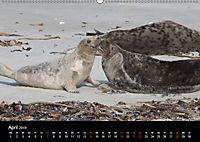 Raubtier der Nordsee - Kegelrobben vor Helgoland (Wandkalender 2019 DIN A2 quer) - Produktdetailbild 4