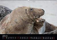 Raubtier der Nordsee - Kegelrobben vor Helgoland (Wandkalender 2019 DIN A2 quer) - Produktdetailbild 6