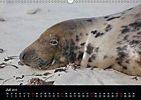 Raubtier der Nordsee - Kegelrobben vor Helgoland (Wandkalender 2019 DIN A3 quer) - Produktdetailbild 7