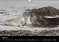 Raubtier der Nordsee - Kegelrobben vor Helgoland (Wandkalender 2019 DIN A3 quer) - Produktdetailbild 4