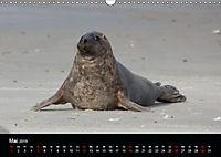 Raubtier der Nordsee - Kegelrobben vor Helgoland (Wandkalender 2019 DIN A3 quer) - Produktdetailbild 5