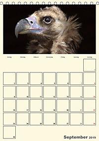 Raubvögel (Tischkalender 2019 DIN A5 hoch) - Produktdetailbild 9