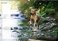 Rhodesian Ridgeback - Herzen auf vier Pfoten (Wandkalender 2019 DIN A2 quer) - Produktdetailbild 4