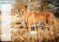 Rhodesian Ridgeback - Herzen auf vier Pfoten (Wandkalender 2019 DIN A2 quer) - Produktdetailbild 12