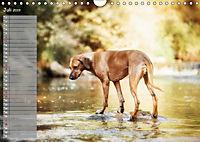 Rhodesian Ridgeback - Herzen auf vier Pfoten (Wandkalender 2019 DIN A4 quer) - Produktdetailbild 7