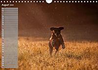 Rhodesian Ridgeback - Herzen auf vier Pfoten (Wandkalender 2019 DIN A4 quer) - Produktdetailbild 8