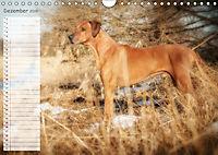 Rhodesian Ridgeback - Herzen auf vier Pfoten (Wandkalender 2019 DIN A4 quer) - Produktdetailbild 12
