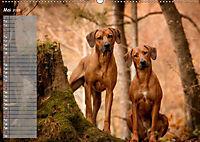 Rhodesian Ridgeback - Herzen auf vier Pfoten (Wandkalender 2019 DIN A2 quer) - Produktdetailbild 5