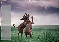 Rhodesian Ridgeback - Herzen auf vier Pfoten (Wandkalender 2019 DIN A2 quer) - Produktdetailbild 6