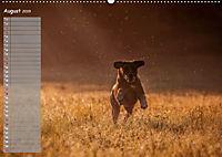 Rhodesian Ridgeback - Herzen auf vier Pfoten (Wandkalender 2019 DIN A2 quer) - Produktdetailbild 8