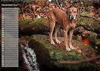 Rhodesian Ridgeback - Herzen auf vier Pfoten (Wandkalender 2019 DIN A2 quer) - Produktdetailbild 11