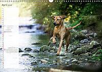 Rhodesian Ridgeback - Herzen auf vier Pfoten (Wandkalender 2019 DIN A3 quer) - Produktdetailbild 4