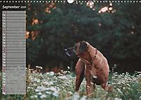 Rhodesian Ridgeback - Herzen auf vier Pfoten (Wandkalender 2019 DIN A3 quer) - Produktdetailbild 9