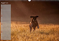 Rhodesian Ridgeback - Herzen auf vier Pfoten (Wandkalender 2019 DIN A3 quer) - Produktdetailbild 8