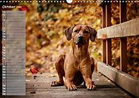 Rhodesian Ridgeback - Herzen auf vier Pfoten (Wandkalender 2019 DIN A3 quer) - Produktdetailbild 10