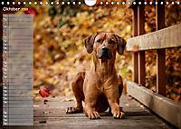 Rhodesian Ridgeback - Herzen auf vier Pfoten (Wandkalender 2019 DIN A4 quer) - Produktdetailbild 10
