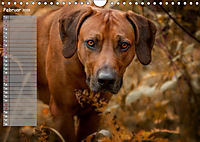 Rhodesian Ridgeback - Herzen auf vier Pfoten (Wandkalender 2019 DIN A4 quer) - Produktdetailbild 2