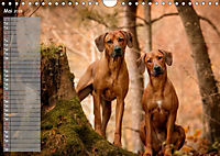 Rhodesian Ridgeback - Herzen auf vier Pfoten (Wandkalender 2019 DIN A4 quer) - Produktdetailbild 5