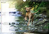 Rhodesian Ridgeback - Herzen auf vier Pfoten (Wandkalender 2019 DIN A4 quer) - Produktdetailbild 4