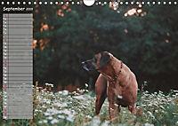 Rhodesian Ridgeback - Herzen auf vier Pfoten (Wandkalender 2019 DIN A4 quer) - Produktdetailbild 9