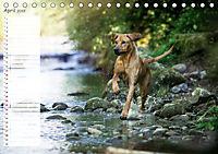 Rhodesian Ridgeback - Herzen auf vier Pfoten (Tischkalender 2019 DIN A5 quer) - Produktdetailbild 4