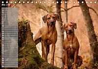 Rhodesian Ridgeback - Herzen auf vier Pfoten (Tischkalender 2019 DIN A5 quer) - Produktdetailbild 5