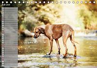 Rhodesian Ridgeback - Herzen auf vier Pfoten (Tischkalender 2019 DIN A5 quer) - Produktdetailbild 7