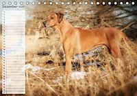 Rhodesian Ridgeback - Herzen auf vier Pfoten (Tischkalender 2019 DIN A5 quer) - Produktdetailbild 12