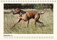 Rhodesian Ridgeback Power aus Südafrika (Tischkalender 2019 DIN A5 quer) - Produktdetailbild 10