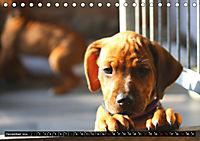 Rhodesian Ridgeback - Schnappschüsse - (Tischkalender 2019 DIN A5 quer) - Produktdetailbild 12