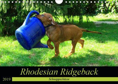 Rhodesian Ridgeback - Schnappschüsse - (Wandkalender 2019 DIN A4 quer), Dagmar Behrens