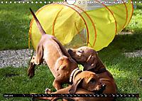 Rhodesian Ridgeback - Schnappschüsse - (Wandkalender 2019 DIN A4 quer) - Produktdetailbild 6