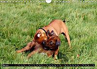 Rhodesian Ridgeback - Schnappschüsse - (Wandkalender 2019 DIN A4 quer) - Produktdetailbild 5