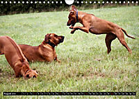 Rhodesian Ridgeback - Schnappschüsse - (Wandkalender 2019 DIN A4 quer) - Produktdetailbild 8