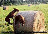 Rhodesian Ridgeback - Schnappschüsse - (Wandkalender 2019 DIN A4 quer) - Produktdetailbild 7